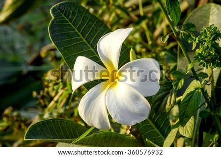 plumeria flower in nature garden - stock photo