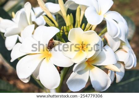 Plumeria flower in the garden - stock photo