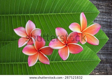 plumeria flower on Green leaves and Old dark wooden background