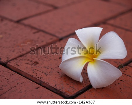 Plumeria flower on the floor tiles - stock photo
