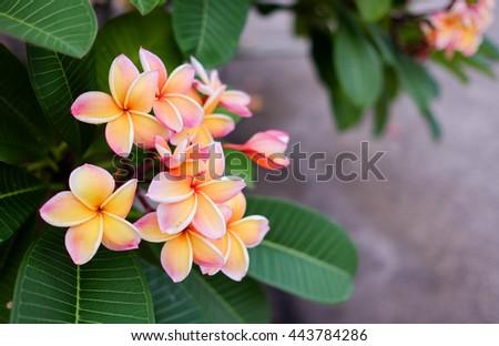 Plumeria flower pink, yellow and white frangipani tropical flower, plumeria flower blooming on tree, spa flower - stock photo