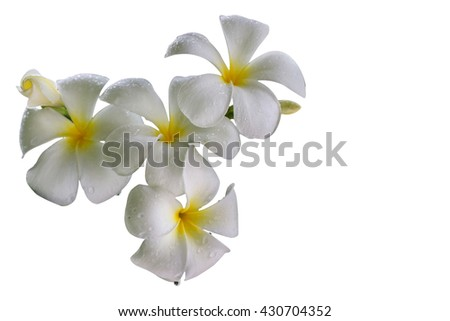 Plumeria flower - White - white background. Copy space for the local side