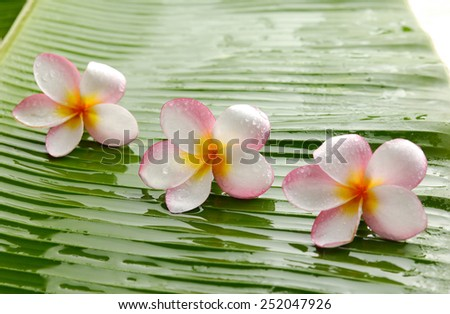Plumeria flowers and wet banana leaf isolated - stock photo