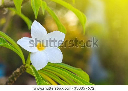 Plumeria flowers as beautiful white flowers, selective focus and blur bokeh - stock photo