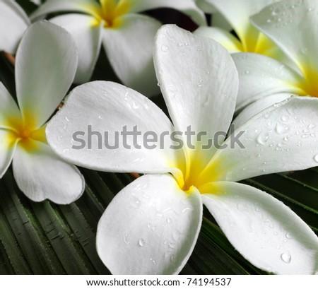 plumeria flowers closeup on green leaves - stock photo