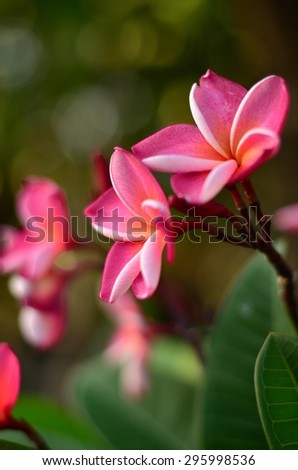 Plumeria flowers color pink green nature wall background blossom plant bloom beautiful spa - stock photo