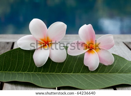 plumeria flowers next to the pool - stock photo