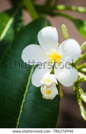 Plumeria flowers on the green branch.