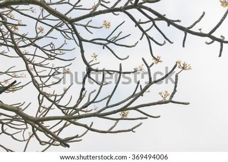 Plumeria, Frangipani, leelawadee, lantorm flower bloom white yel - stock photo