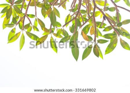 Plumeria (frangipani) tree on isolated background - stock photo