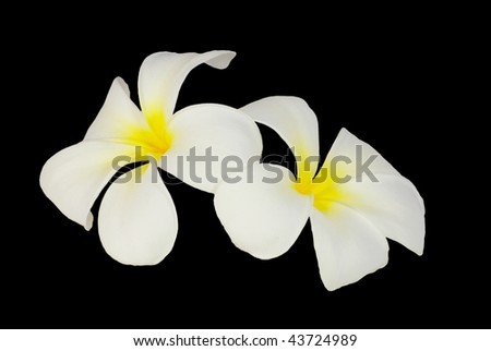 plumeria isolated - stock photo