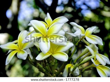 Plumeria obtusa, or Frangipani growing near the beach in Barbados. - stock photo