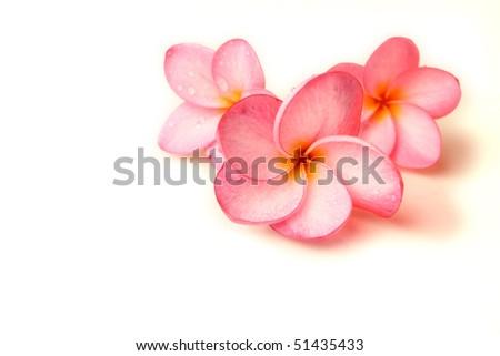 Plumeria on a white background - stock photo