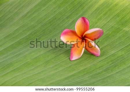 Plumeria on banana leaf - stock photo