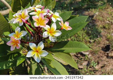 Plumeria or frangipani blossom on the plumeria tree, nature background. - stock photo