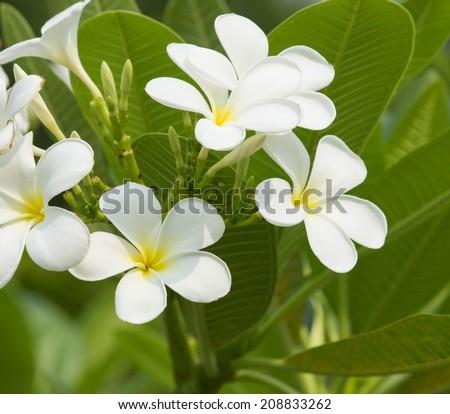 Plumeria or Frangipani flower on green leaves background - stock photo