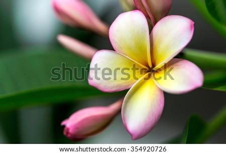 Plumeria or frangipani flower, Tropical flower. - stock photo