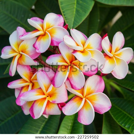 Plumeria spp. (frangipani flowers, Frangipani, Pagoda tree or Temple tree) - stock photo