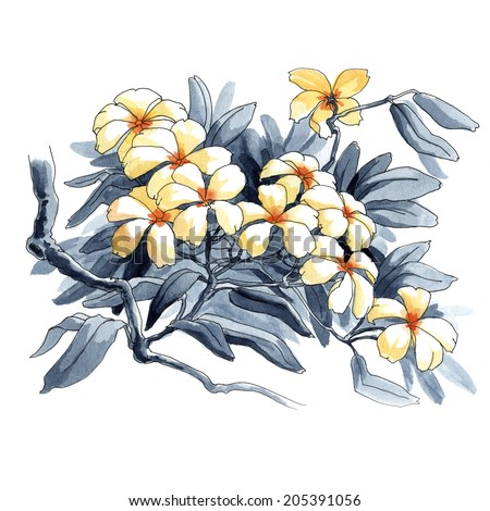 Plumeria. Watercolor tropical flowers in a classical style on a white background - stock photo