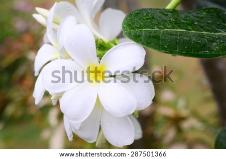 plumeria white flowers background frangipani yellow pink nature tropical leaf isolated blossom petal