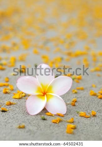Plumeria & Yellow  Flower Petals on the floor . - stock photo