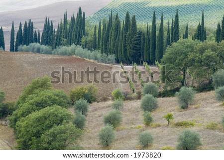 Plump Italian olive tree landscape 06. See more in my portfolio - stock photo