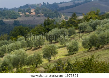 Plump Italian olive tree landscape 07. See more in my portfolio - stock photo