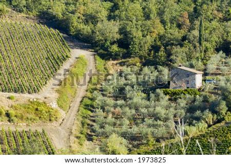 Plump Italian olive tree landscape 11. See more in my portfolio - stock photo
