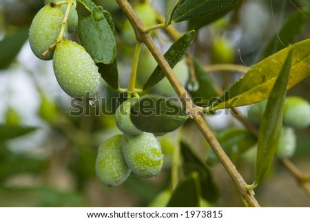 Plump Italian Olives on the tree 01. See more in my portfolio - stock photo
