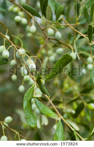 Plump Italian Olives on the tree 10. See more in my portfolio - stock photo