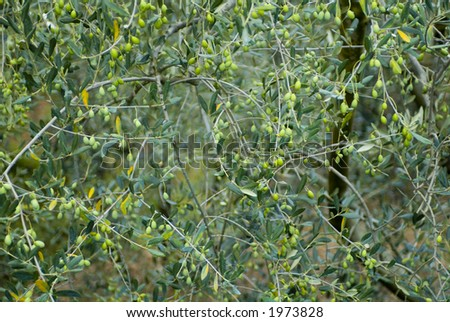 Plump Italian Olives on the tree 14. See more in my portfolio - stock photo