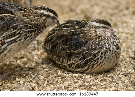Plump quail sitting down on sawdust with second quail coming to inspect