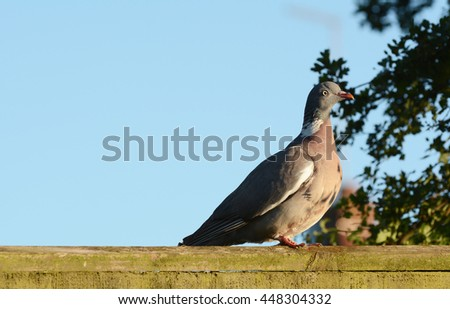 Plump wood pigeon - Columba palumbus - sits on a wooden fence in the early evening sun. Clear blue sky beyond offers copy space. - stock photo