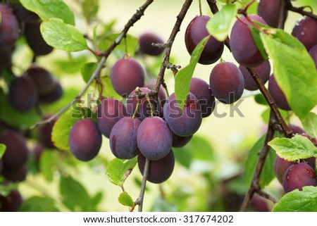 Plums on the branch in the garden.                                 - stock photo