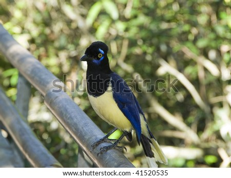 Plush crested jay (Cyanocorax chrysops) near Iguassu, Brazil.