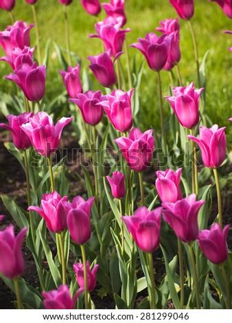 Pnurple tulips in the rays of the evening sun - stock photo