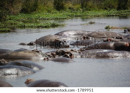 Pod of hippo's and young in Ngorongoro, Tanzania
