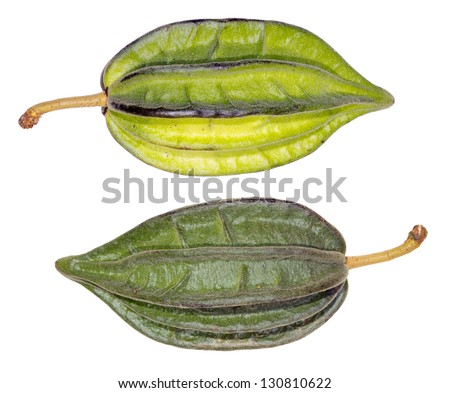 Pods of a wild species of cacao (Theobroma sp.) from Ecuador - stock photo