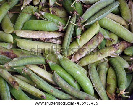 Pods of old overripe green peas close up.                                - stock photo