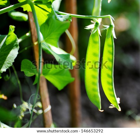 Pods of young green peas growing on a bed. - stock photo