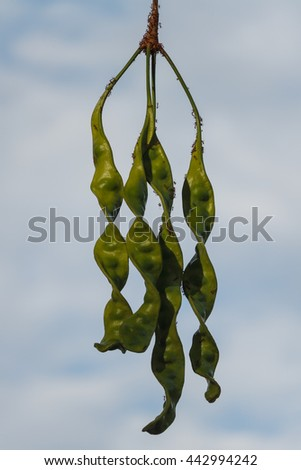 Pods sato on blue sky background in south of thailand
