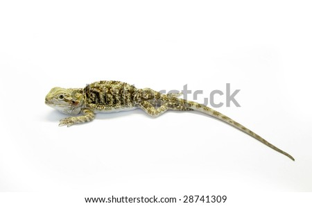 Pogona vitticeps - color young lizard