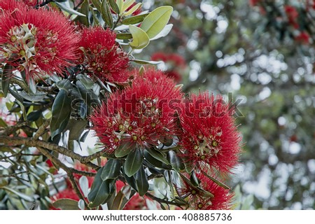 Pohutukawa flower blooming on a tree - stock photo
