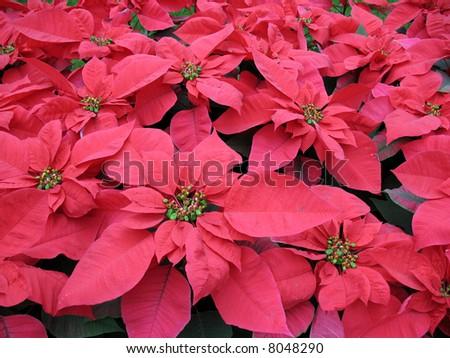 Poinsettia - stock photo