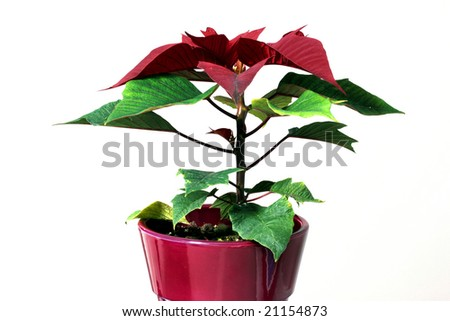 Poinsettia a.k.a Christmas flower, isolated on a white background - stock photo