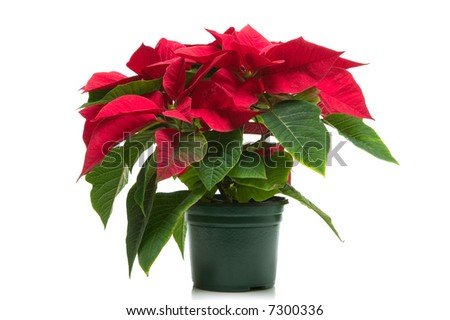 Poinsettia a.k.a Christmas flower, isolated on a white background. - stock photo