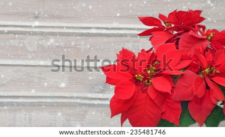 poinsettia and snow. Christmas flower on wooden background