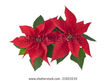 Poinsettia (Bethlehem star) two flowers closeup cutout