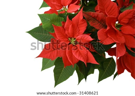 Poinsettia - Christmas Flower
