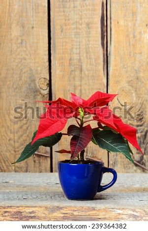 Poinsettia (Christmas star) in the cup on wooden background